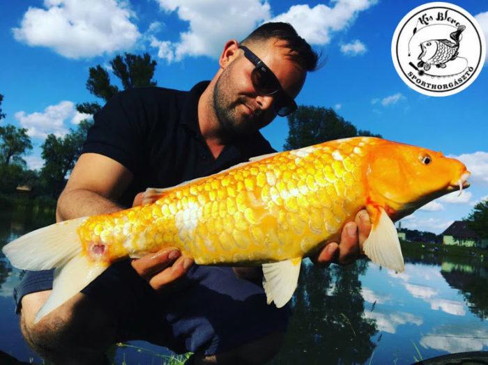 horgásztavunk egyik törzsvendége is aranyhalat fogott